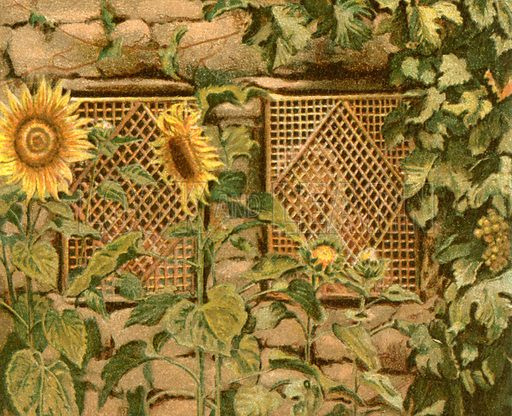 Sunflowers. Illustration for The Life of Our Saviour Jesus Christ (Sampson Low, c 1897).