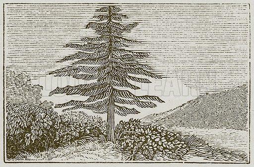 The Fir-Tree and the Bramble. Illustration for The Fables of Aesop by Samuel Croxall (Milner & Sowerby, 1860).