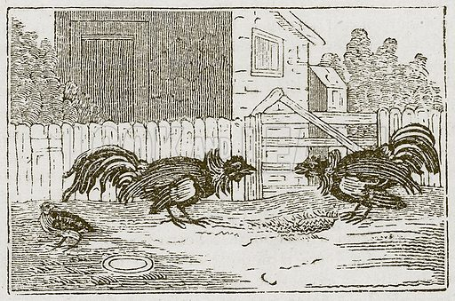 The Partridge and the Cocks. Illustration for The Fables of Aesop by Samuel Croxall (Milner & Sowerby, 1860).