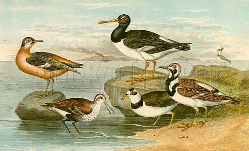 Sea birds. Illustration for Earth and Animated Nature by Oliver Goldsmith (Blackie, 1864).