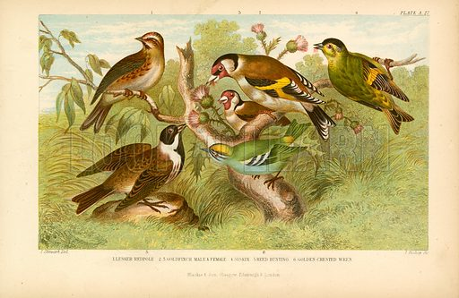 Birds. Illustration for Earth and Animated Nature by Oliver Goldsmith (Blackie, 1864).