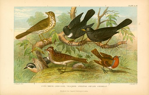 British birds. Illustration for Earth and Animated Nature by Oliver Goldsmith (Blackie, 1864).