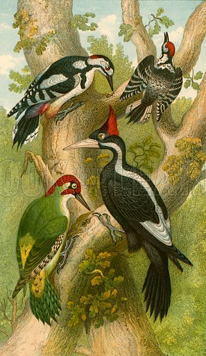 Woodpeckers. Illustration for Earth and Animated Nature by Oliver Goldsmith (Blackie, 1864).