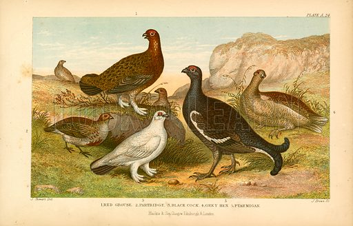 Game birds. Illustration for Earth and Animated Nature by Oliver Goldsmith (Blackie, 1864).
