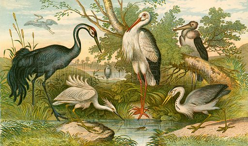 Long-legged birds. Illustration for Earth and Animated Nature by Oliver Goldsmith (Blackie, 1864).