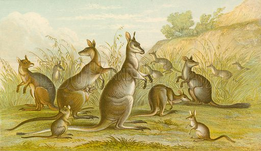 Kangaroos. Illustration for Earth and Animated Nature by Oliver Goldsmith (Blackie, 1864).