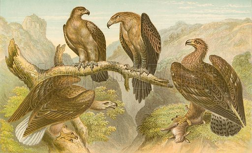 Eagles. Illustration for Earth and Animated Nature by Oliver Goldsmith (Blackie, 1864).
