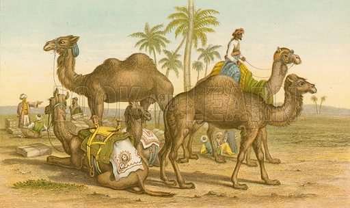 Camel and dromedary. Illustration for Earth and Animated Nature by Oliver Goldsmith (Blackie, 1864).