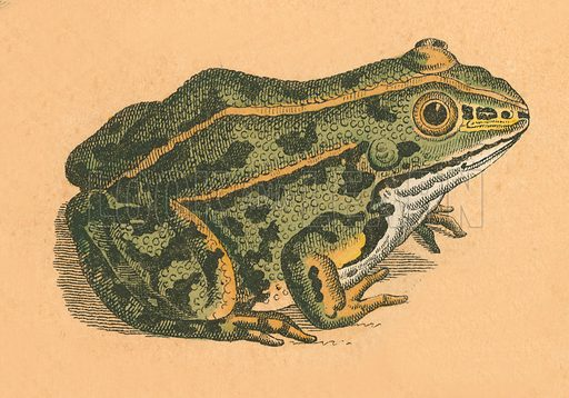 Toad or frog.  Victorian scrap.