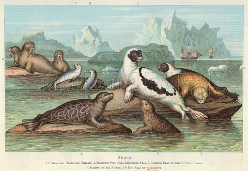 Seals. 1, 2, Harp Seal. (Male and Female) 3, Pennants Pied Seal. 4, Marbled Seal. 5, Common Seal of the Scotch Coasts. 6, Walrus or Sea Horse. 7, 8, Fur Seal of Commerce. Illustration for Blackie's Modern Cyclopedia (1899).