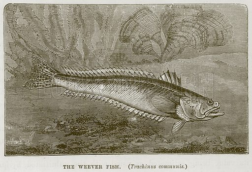 The Weever Fish. (Trachinus Communis.) Illustration for The Sea by F Whymper (Cassell, c 1890).