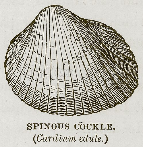 Spinous Cockle. (Cardium Edule.) Illustration for The Sea by F Whymper (Cassell, c 1890).