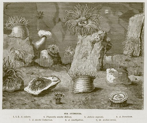 Sea Anemones. 1, 2, 3. A. Sulcata. 4. Phymactis Sanctae Helenae. 5. Actinia Capensis. 6. A. Peruviana. 7. A. Sanctae Catherinae. 8. A. Amethystina. 9, 10. Anthea Cereus. Illustration for The Sea by F Whymper (Cassell, c 1890).