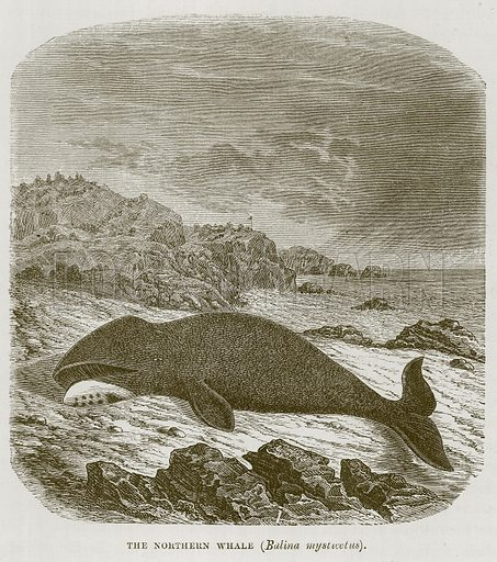 The Northern Whale (Balina Mysticetus). Illustration for The Sea by F Whymper (Cassell, c 1890).