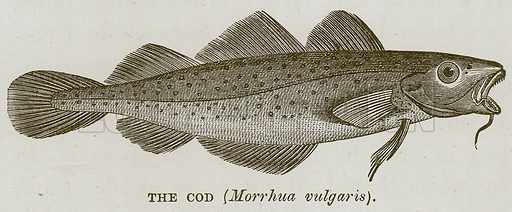 The Cod (Morrhua Vulgaris). Illustration for The Sea by F Whymper (Cassell, c 1890).