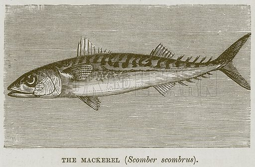 The Mackerel (Scomber Scombrus). Illustration for The Sea by F Whymper (Cassell, c 1890).