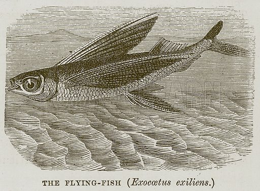 The Flying-Fish (Exocaetus Exiliens.) Illustration for The Sea by F Whymper (Cassell, c 1890).