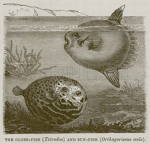The Globe-Fish (Tetrodon) and Sun-Fish (Orthagoriscus Mola). Illustration for The Sea by F Whymper (Cassell, c 1890).