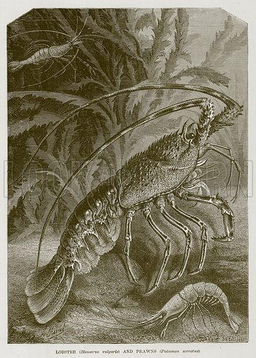 Lobster (Homarus Vulgaris) and Prawns (Palaemon Serratus.) Illustration for The Sea by F Whymper (Cassell, c 1890).