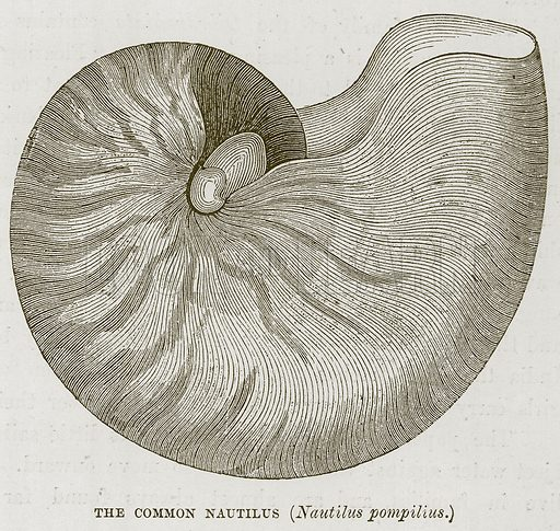 The Common Nautilus (Nautilus Pompilius.) Illustration for The Sea by F Whymper (Cassell, c 1890).