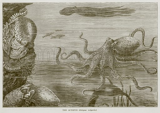 The Octopus (Octopus Vulgaris.) Illustration for The Sea by F Whymper (Cassell, c 1890).