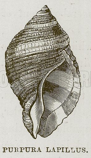 Purpura Lapillus. Illustration for The Sea by F Whymper (Cassell, c 1890).
