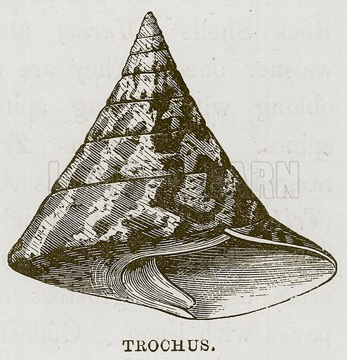 Trochus. Illustration for The Sea by F Whymper (Cassell, c 1890).