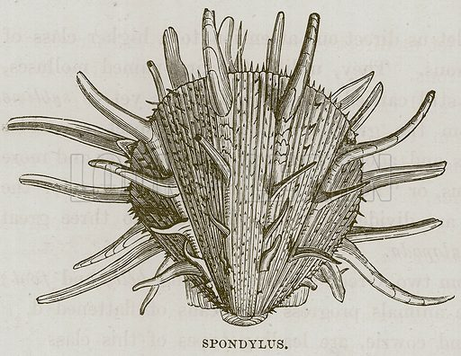 Spondylus. Illustration for The Sea by F Whymper (Cassell, c 1890).