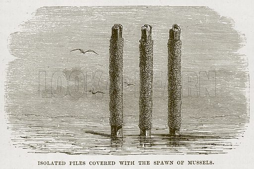 Isolated Piles Covered with the Spawn of Mussels. Illustration for The Sea by F Whymper (Cassell, c 1890).