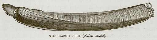 The Razor Fish (Solen Ensis). Illustration for The Sea by F Whymper (Cassell, c 1890).