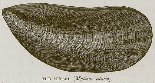 The Mussel (Mytilus Edulis). Illustration for The Sea by F Whymper (Cassell, c 1890).