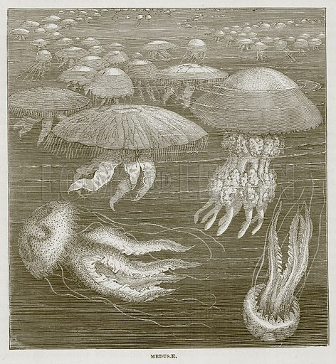 Medusae. Illustration for The Sea by F Whymper (Cassell, c 1890).