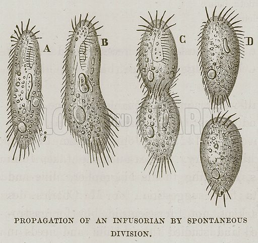 Propagation of an Infusorian by Spontaneous Division. Illustration for The Sea by F Whymper (Cassell, c 1890).