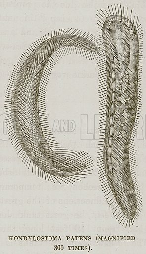 Kondylostoma Patens (Magnified 300 Times). Illustration for The Sea by F Whymper (Cassell, c 1890).