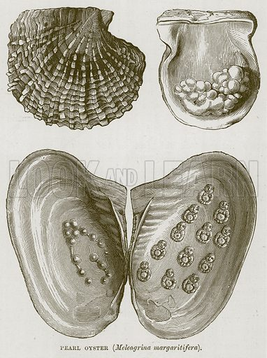 Pearl Oyster (Meleagrina Margaritifera). Illustration for The Sea by F Whymper (Cassell, c 1890).