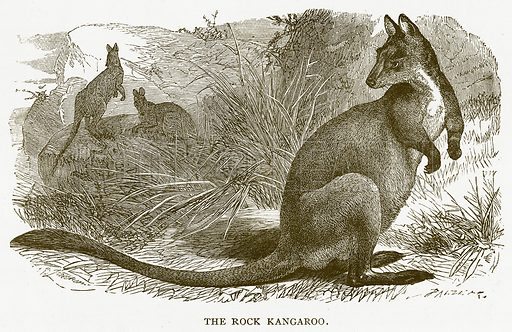 The Rock Kangaroo. Illustration for Australian Adventures by William Kingston (George Routledge, c 1890).