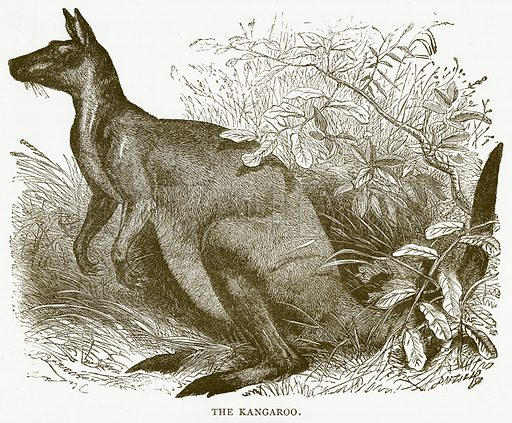 The Kangaroo. Illustration for Australian Adventures by William Kingston (George Routledge, c 1890).
