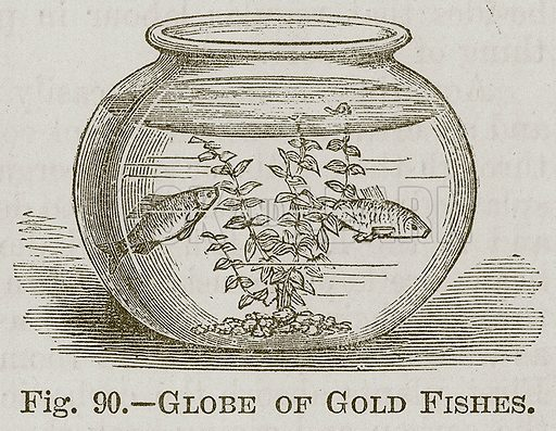 Globe of Gold Fishes. Illustration for Cassell's Book of Sports and Pastimes (Cassell, c 1890).