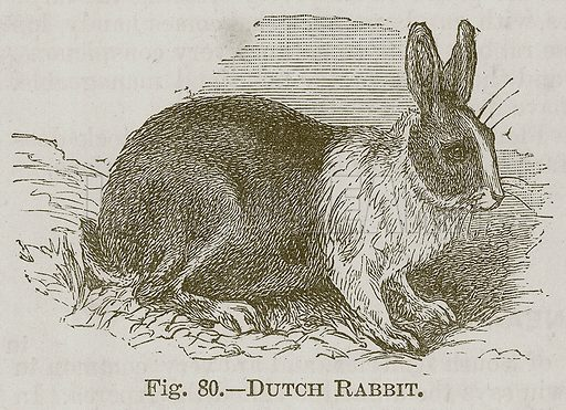 Dutch Rabbit. Illustration for Cassell's Book of Sports and Pastimes (Cassell, c 1890).
