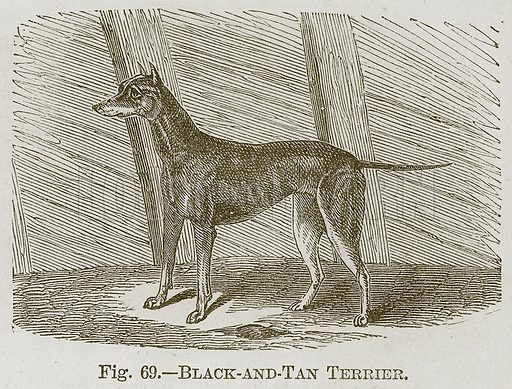 Black-and-Tan Terrier. Illustration for Cassell's Book of Sports and Pastimes (Cassell, c 1890).