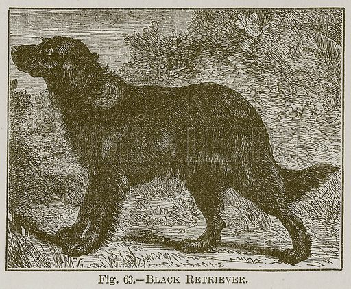 Black Retriever. Illustration for Cassell's Book of Sports and Pastimes (Cassell, c 1890).