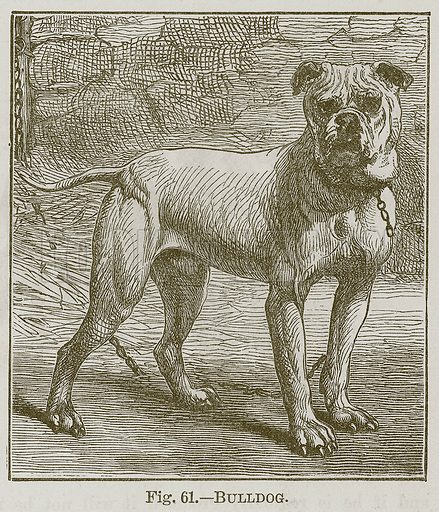 Bulldog. Illustration for Cassell's Book of Sports and Pastimes (Cassell, c 1890).