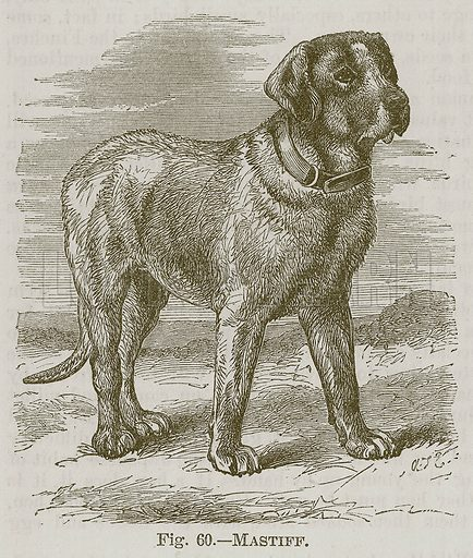 Mastiff. Illustration for Cassell's Book of Sports and Pastimes (Cassell, c 1890).