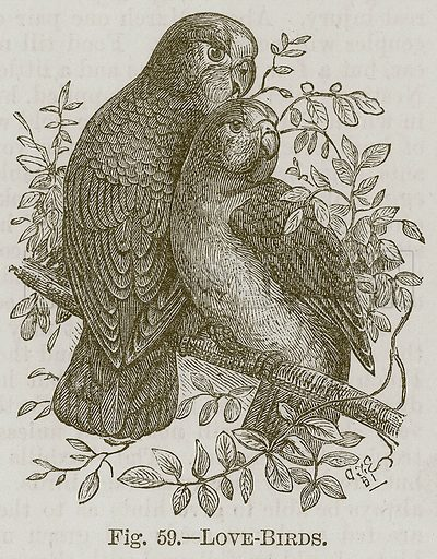 Love-Birds. Illustration for Cassell's Book of Sports and Pastimes (Cassell, c 1890).