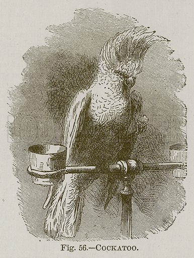 Cockatoo. Illustration for Cassell's Book of Sports and Pastimes (Cassell, c 1890).
