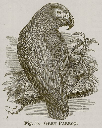 Grey Parrot. Illustration for Cassell's Book of Sports and Pastimes (Cassell, c 1890).