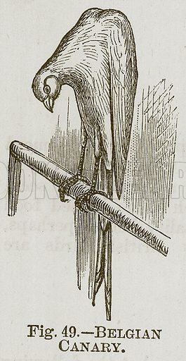 Belgian Canary. Illustration for Cassell's Book of Sports and Pastimes (Cassell, c 1890).