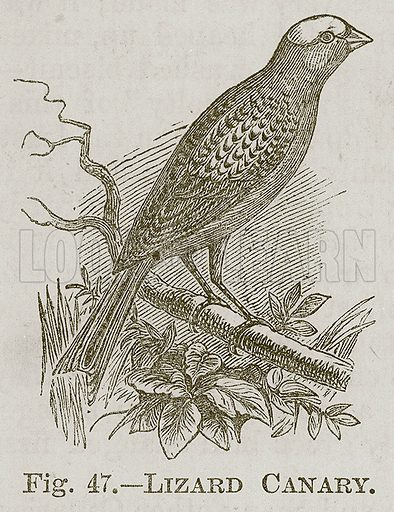 Lizard Canary. Illustration for Cassell's Book of Sports and Pastimes (Cassell, c 1890).