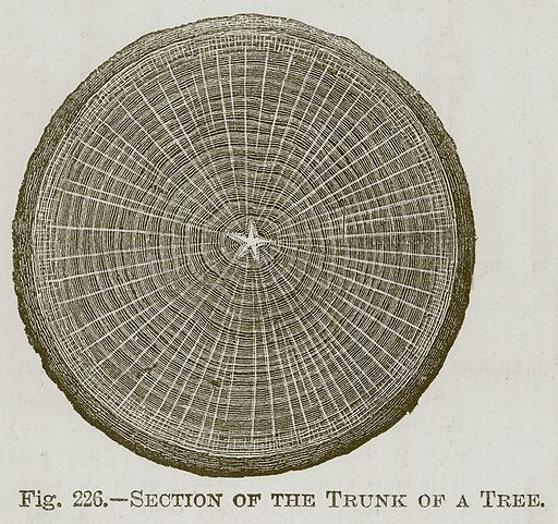 Section of the Trunk of a Tree. Illustration for Cassell's Book of Sports and Pastimes (Cassell, c 1890).