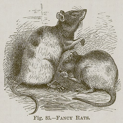 Fancy Rats. Illustration for Cassell's Book of Sports and Pastimes (Cassell, c 1890).